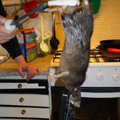Гигантская крыса терроризировала семью в Швеции