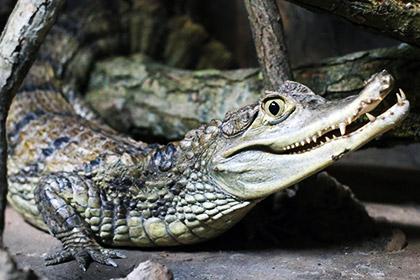 120-килограммовый бухгалтер чуть не раздавил циркового крокодила